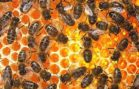 KRÁLOVNA SLUNCE – co se nám včely snaží říct