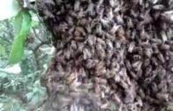 Rojenie včiel