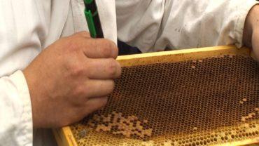Chov včelích matiek