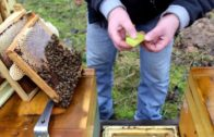 Hukot včelstva, ktoré stratilo matku