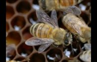 Príznaky nozematózy vo včelstve